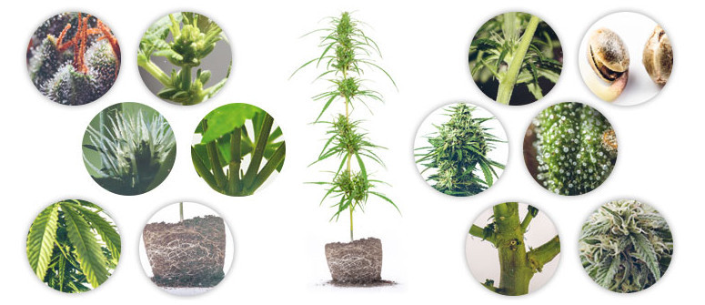 L'Anatomia della Pianta di Cannabis