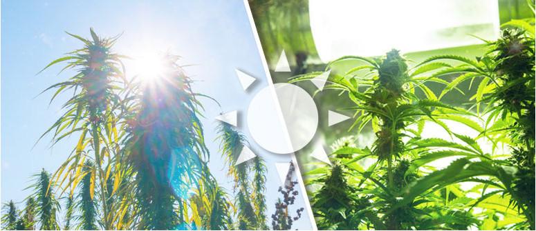 L'importanza della luce nelle colture di cannabis
