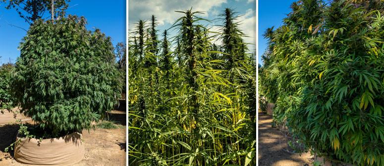 3 Esempi di Colture di Cannabis Outdoor con Piante Enormi