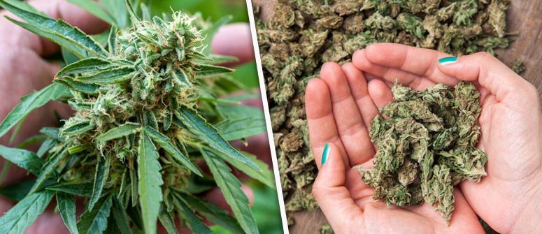 Quanti grammi d'erba posso ottenere da una singola pianta?