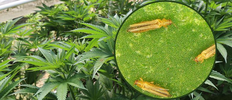 Come Individuare e Gestire i Tripidi sulle Piante di Marijuana