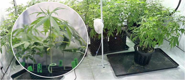 Cos'è una pianta madre di cannabis e quali cure richiede