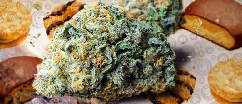 Girl Scout Cookies: recensione varietà di cannabis