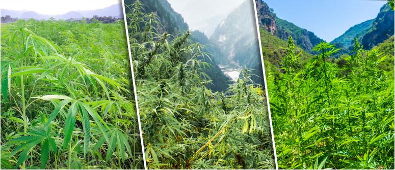 Cosa sono le genetiche di cannabis landrace?