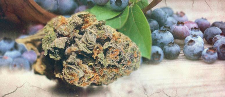 Le origini della genetica Blueberry