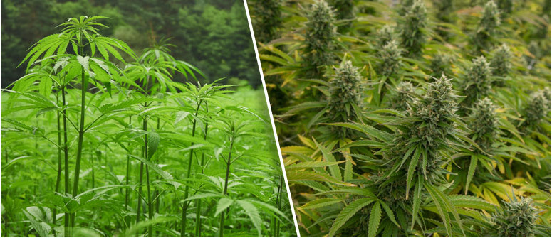 Qual è la differenza fra canapa e marijuana?