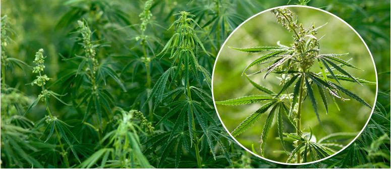 Cos'è La Cannabis Ruderalis?