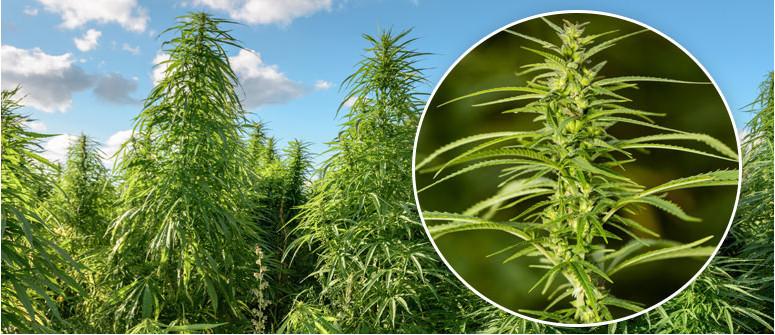 Cos'è la Cannabis Sativa?