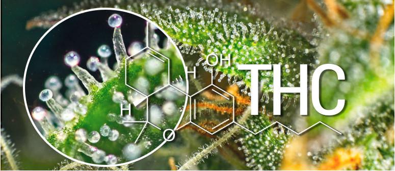 Cos'è Il THC (delta-9-tetraidrocannabinolo)?