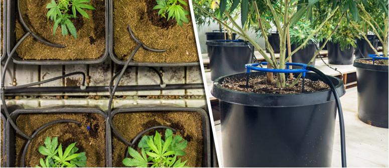 Come Coltivare Cannabis con l'Irrigazione a Goccia