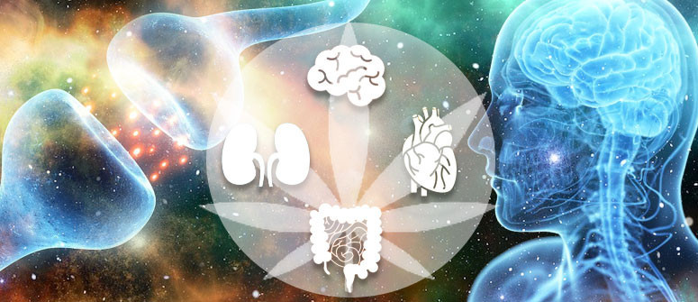 Un'introduzione ai cannabinoidi e al sistema endocannabinoide