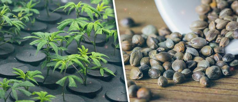 Per coltivare cannabis è meglio partire da seme o da clone?
