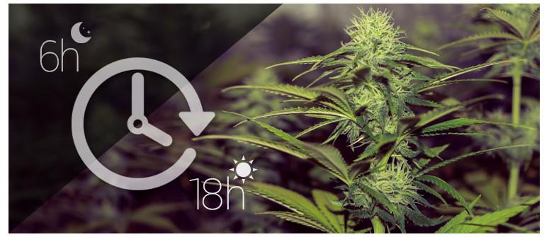 Quanta luce occorre alle piante di cannabis autofiorenti?