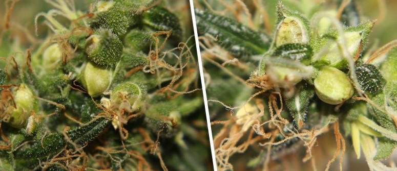 Dai semi femminizzati possono svilupparsi piante ermafrodite?