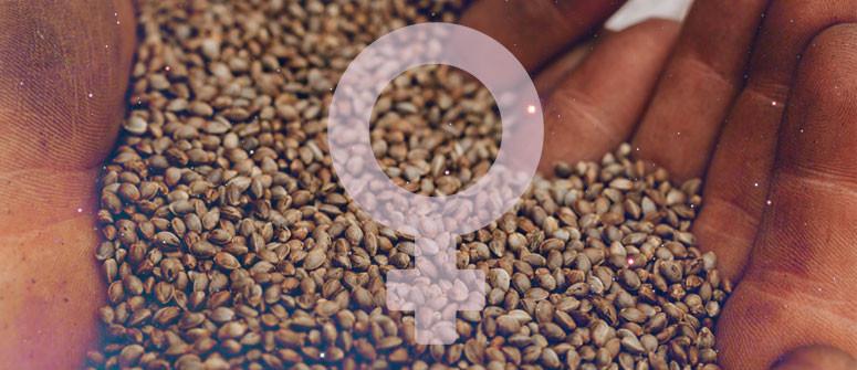 Come fare i vostri semi di cannabis femminizzati