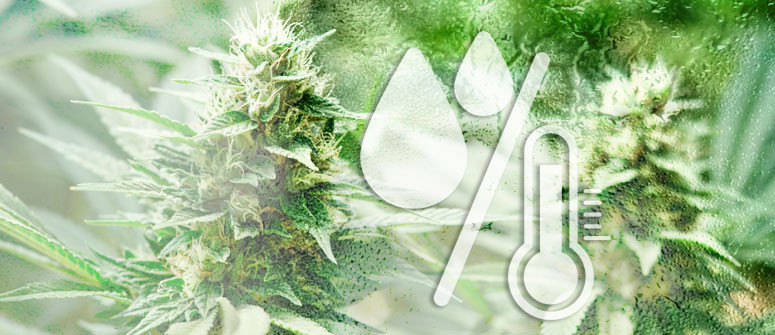 I livelli di umidità ottimali per la coltivazione della cannabis