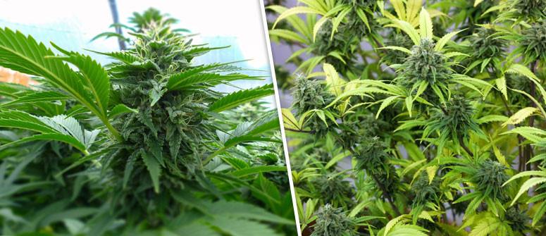 Cosa Sono le Varietà di Cannabis Autofiorenti?