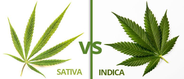 Infografica: le differenze tra cannabis sativa ed indica