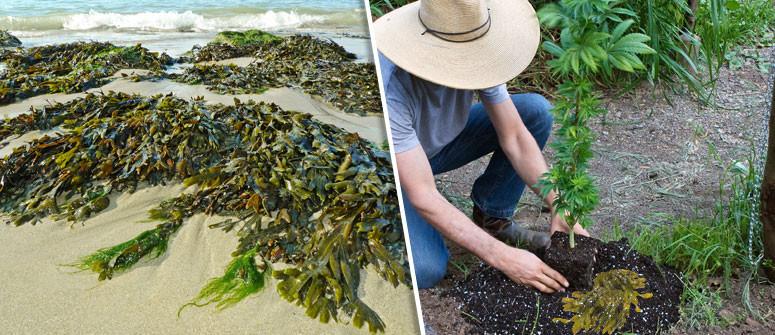 Gli usi delle alghe come integratori