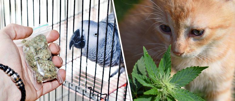Un Quadro Generale Sulla Marijuana Terapeutica Per Animali