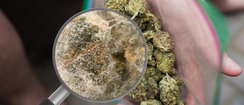 Come riconoscere una marijuana contaminata