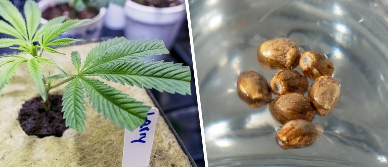 I 5 Vantaggi del coltivare marijuana da talee (cloni) rispetto ai semi