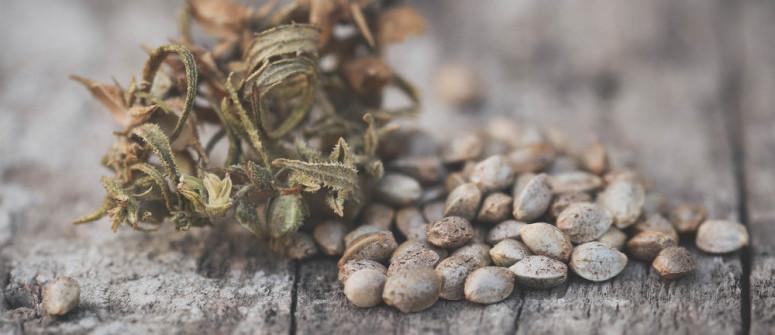 Come Sfruttare al Meglio i Semi di Cannabis Avanzati