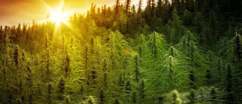 Com'è gestita la legalità e la regolamentazione della cannabis a livello globale?