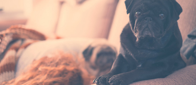 Posso dare l'olio di CBD al mio cane?