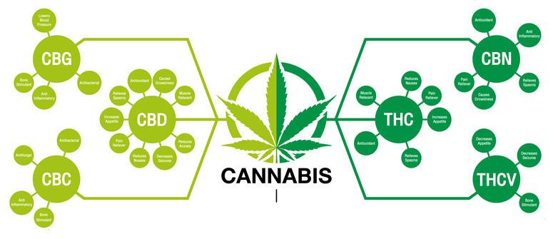 Come vengono prodotti i cannabinoidi?
