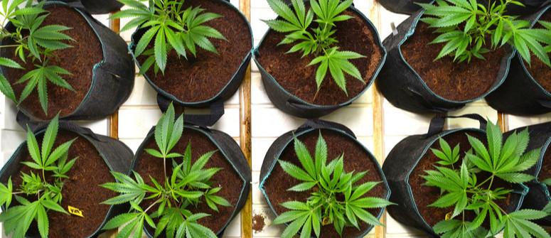 Air-Pot vs vasi classici: quali sono migliori per coltivare cannabis?