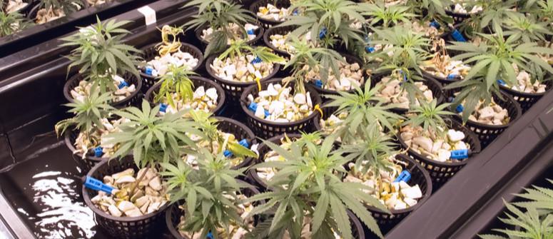 Coltivazione di Cannabis Idroponica: Guida per Principianti
