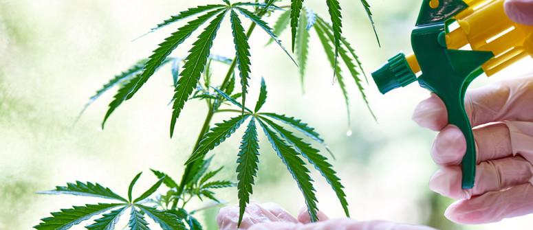 Come e Perché Scegliere la Concimazione Fogliare per la Cannabis