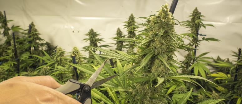 Come Potare la Cannabis: Una Guida per Principianti